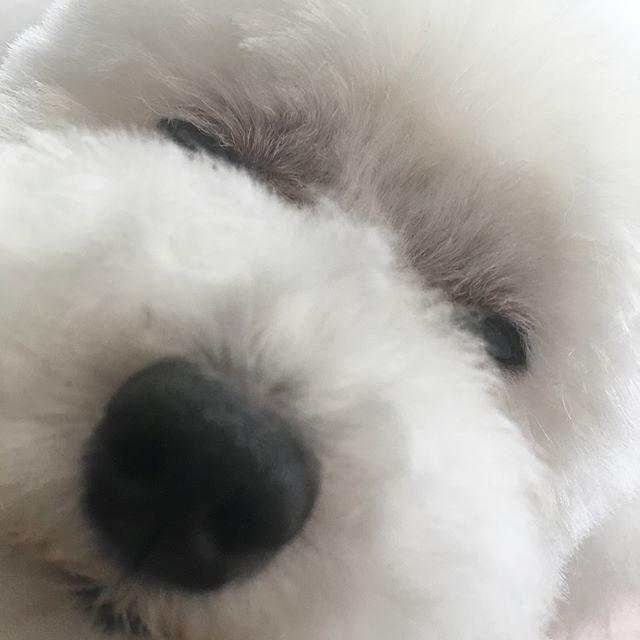 どうも〜モコちゃんです〜ヽ(*^ω^*)ノ距離感がおかしいのは置いといて、当店でナンバーワンのリラックス犬のモコちゃんです☆ここまでリラックスして頂いたら、最早神です!!笑感謝しかない!!ありがたや〜ありがたや〜笑それでは皆、どうぞご覧下さいね(*^◯^*)笑#富山県 #toyama #射水市 #imizushi #dogsalon  #ドッグサロン #triming  #トイプードル #トイプードル部 #癒し犬  #おやすみなさい  #リラックス #ありがたや〜笑 #バックで流れる曲とハマり過ぎ笑 #遊んでませんよ  #ちゃんとお仕事してますよ 笑