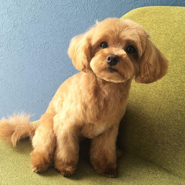 今日は溜まりに溜まってきた、インスタの連続投稿頑張りま〜す\\٩( 'ω' )و ////笑第1のコース!! Mix犬の、ラッキーちゃんヽ(´▽`)/ さて、何犬と何犬のミックスでしょうか?お分かりになられた方は、ご自由にコメントして下さい(*^ω^*)笑#富山 #toyama #射水市 #imizushi  #dog salon #ドッグサロン #隠れ家サロン #torimming  #トリミング#ヒトリマーグ#ミックス犬  #何と何のミックス? #分かるかな〜 #分かりますよね! #トリマーさんなら、分かりますよね?笑 #トリマーさん、午後も頑張りましょうね٩( 'ω' )و笑