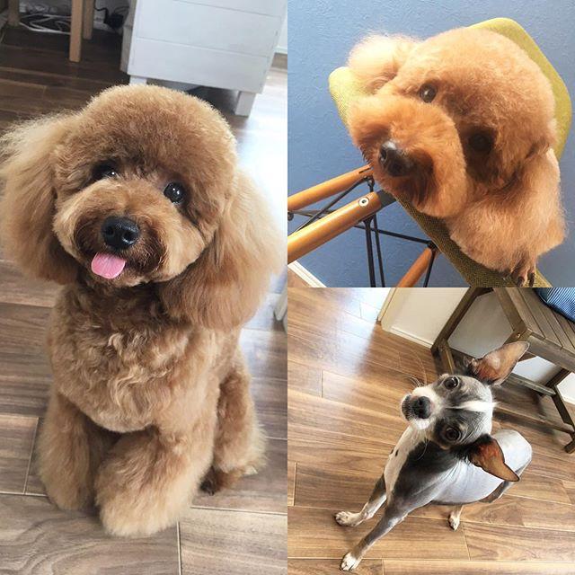 続けて、テヘペロ写真のハルちゃんに、椅子の上でまったりくつろぐ、ききちゃん(*´∀`*) 名前を呼ぶと、凄い角度まで首を傾げて聞いてくれる、ポッキーちゃん(*゚∀゚*) 可愛い皆んなに、癒された週末のdogsalon  Arueでした〜♪└|∵|┐♪└|∵|┘♪┌|∵|┘♪笑#富山 #toyama #射水市 #imizushi  #dog salon  #ドッグサロン #torimming #トリミング #ヒトリマー #トイプードル #トイプードル部 #チワワ #チワワ部 #まったり週末 #癒わんこ #かわいい #皆さん台風気をつけて下さいね