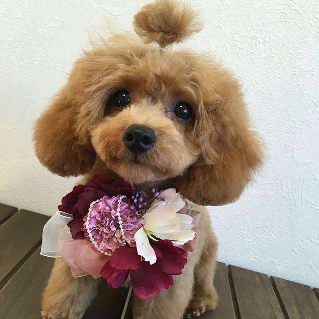 またまた新しいチョーカー入荷して来たので、早速パピー犬の、とわちゃんで、写真撮影(((o(*゚▽゚*)o)))♡ トップの毛が、まだまだ短く可愛いちょんまげトリミングもとってもお利口さんで、いっぱい癒されました〜(*´ω`*) #toyama  #富山 #imizusi #射水市 #dogsalon #ドッグサロン  #torimmingsalon  #トリミングサロン #torimming #トリミング #トイプードル#トイプードル大好き #トイプードル部#癒し犬 #かわいい#パピー犬  #ちょんまげ #ちょんまげ犬