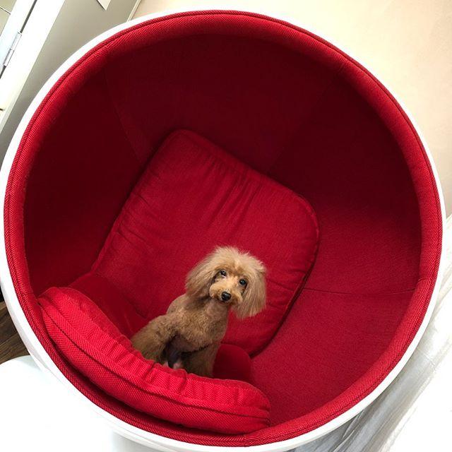 来ました️インスタ映え♀️ こちらのお洒落な椅子は、以前ご紹介させて頂いた、@things_store.furnitureさんで購入できる️か️も️笑#toyama  #富山#toyamashi#富山市  #imizusi #射水市 #takaokashi#高岡市#grooming#dogsalon#ドッグサロン#トリミングサロン#torimming  #トリミング#スキンケア#トイプードル#プードル#犬のいる暮らし#ふわもこ部#ヒトリマー#BOKUMO.#BOKUMO取扱店富山#bokumo.#アニマー湯#animaryu取扱店#No無麻酔歯石取り#アーガイルディッシュ取扱店
